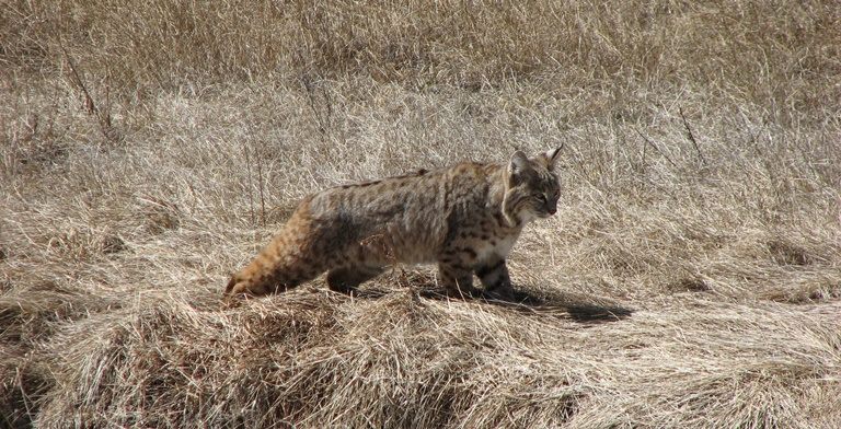 Bobcat walking through a Valle | Photo by: NPS